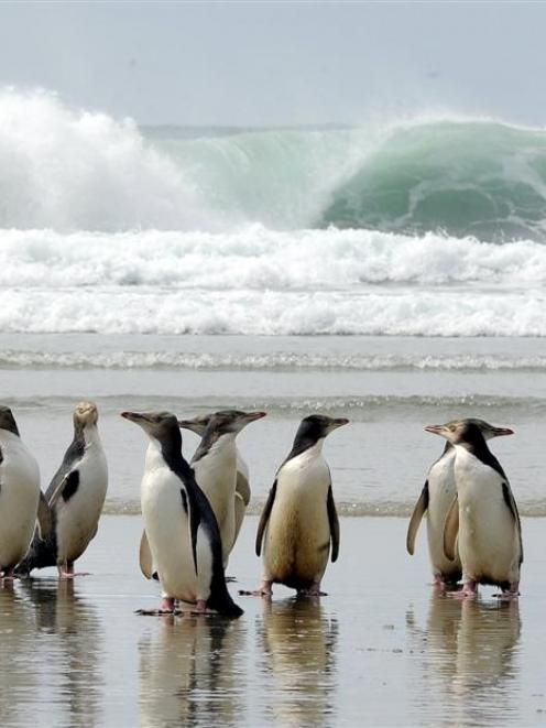 A group of yellow-eyed penguins on an Otago Peninsula beach. Photo by Craig Baxter.