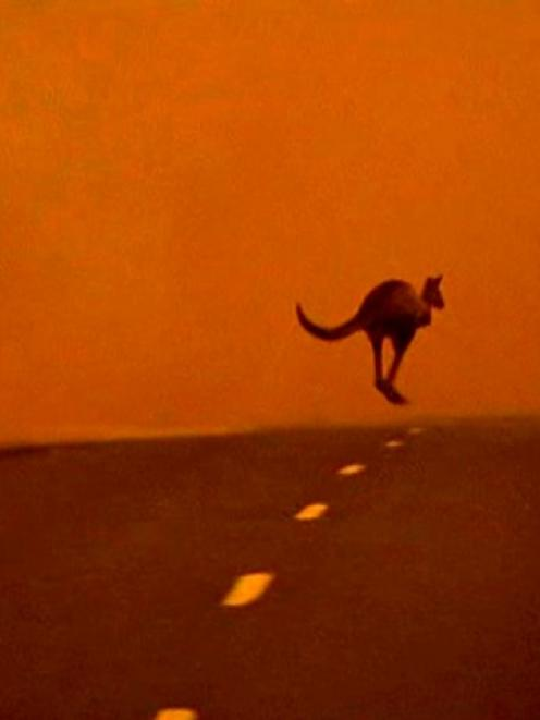 A kangaroo flees across a road from a bushfire in Victoria earlier this month. REUTERS/Australian...
