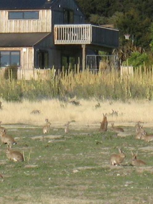 A lifestyle block in the Queensberry Tce area yesterday, which has been taken over by rabbits....