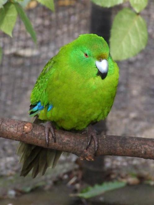 A male Antipodes Island parakeet, which welcomed a new female partner into his enclosure last...