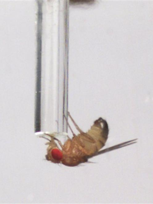 A male fruit fly drinks alcohol-laced food from from a tube.  (AP Photo/University of California,...