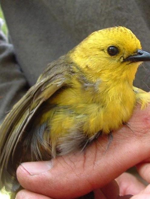 A mohua caught during the monitoring of the population in the Catlins. Photo by Cheryl Pullar.