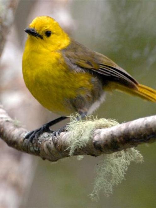 A mohua, or yellowhead. Photo by Stephen Jaquiery.