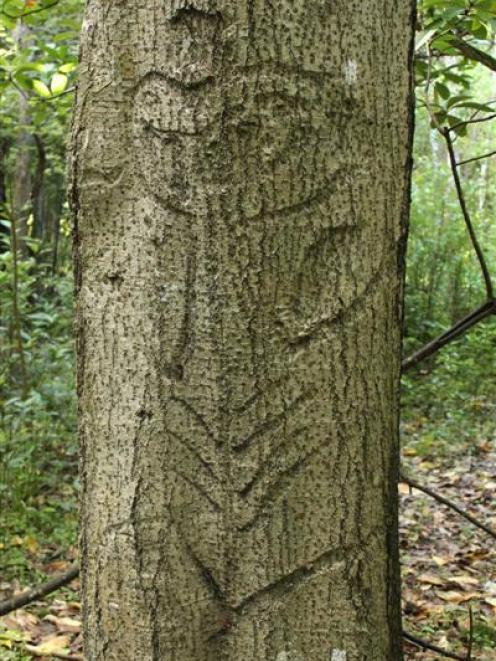 A Moriori tree carving within a relatively healthy stand of kopi trees at Taia Bush Historic...