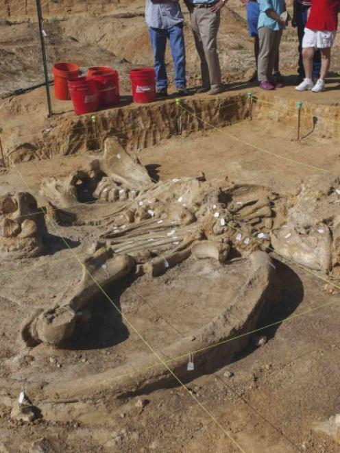 A nearly complete skeleton of a mammoth that died 20,000 to 40,000 years ago is pictured near...