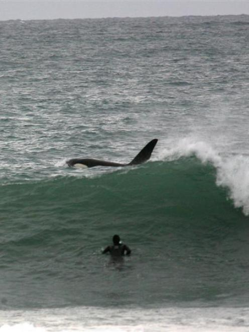 A surfer watches closely as a large orca swims close by him, accompanied by two smaller orca, at...