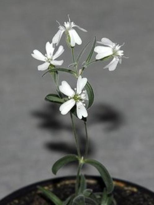 A Sylene stenophylla plant regenerated from tissue of fossil fruit. The plant has been...