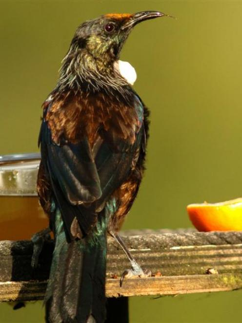 A tui pauses between a feed of sugar water. Photo by Stephen Jaquiery.