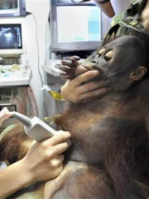 A young orangutan is checked for kidney stones at an animal hospital in Hangzhou, in east China's...