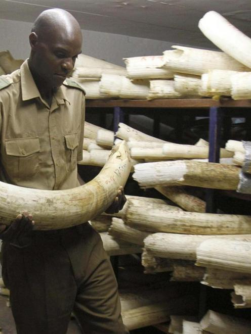 A Zimbabwe National Parks and Wildlife Management official checks ivory inside a storeroom in...