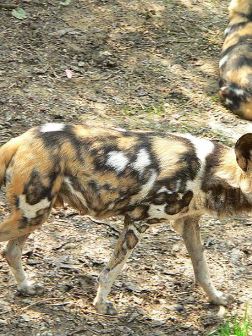 African painted dogs. Photo Wikipedia