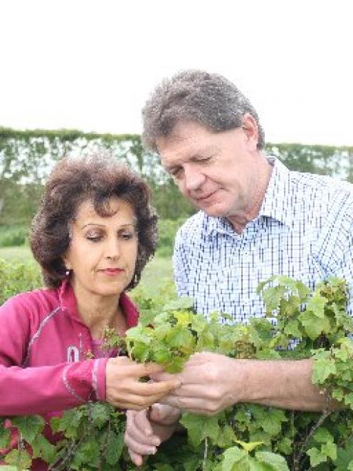 Afsaneh and Tony Howey check the progress of the blackcurrant crop at their Pleasant Point...