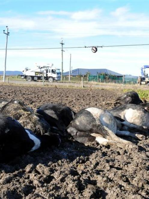 Alistair Kerr's electrocuted dairy cows lie beneath a low-hanging, 33kV transmission line. Photo...