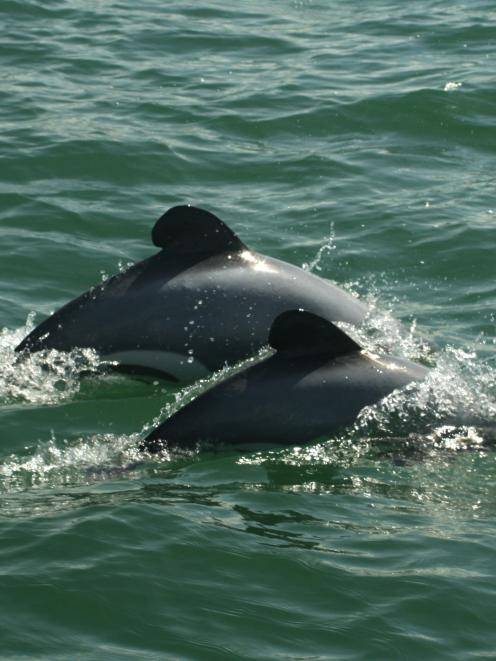 An adult and a juvenile Maui dolphin. Photo by Martin Stanley/DOC