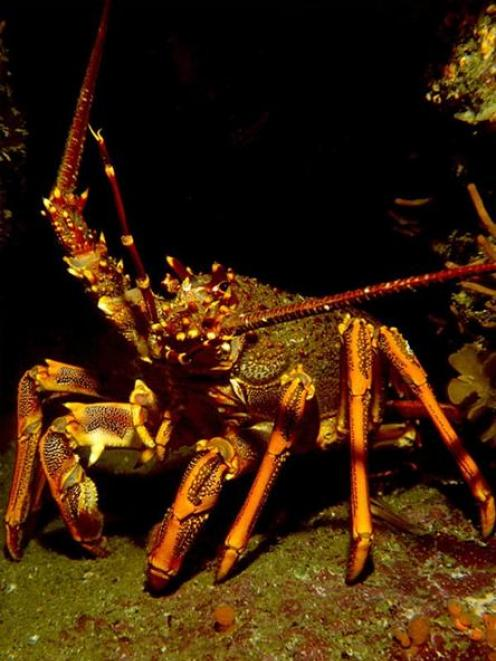 An adult red rock lobster. Photo by John McKoy Niwa.
