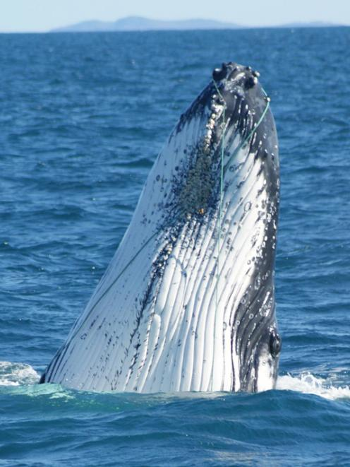 An entangled humpback whale photograhed previously off Banks Peninsula. Photo from DOC
