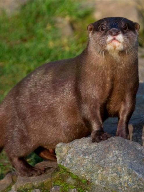 An otter patrols the riverbank. Photo by Tony Hisgett/Wikimedia Commons.