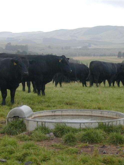 Angus cattle will be the first animals to have SNP Chip gene technology late this year to improve...