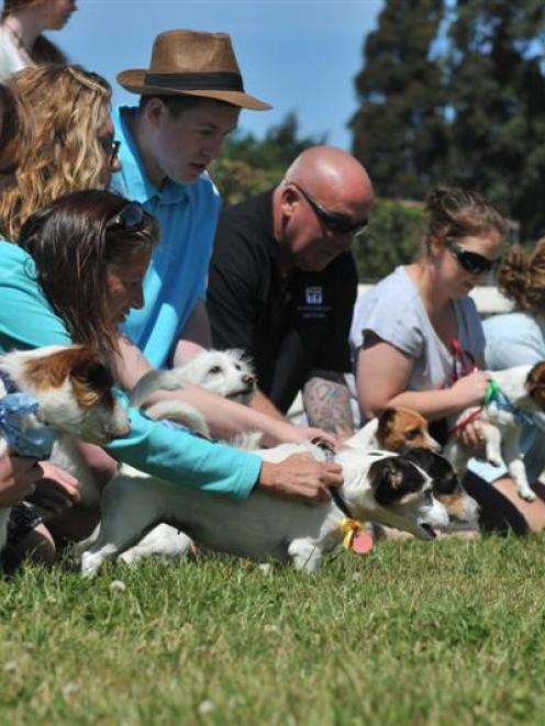 Anticipation builds before the Jack Russell terrier race begins. Photo by Gregor Richardson.