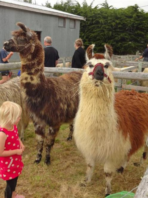 Bella Simons (3), of Palmerston, looks at a llama line-up at last week's Palmerston and Waihemo A...