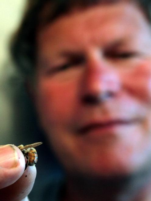 Betta Bees breeding programme manager Frans Laas prepares to harvest the genetic material from a...
