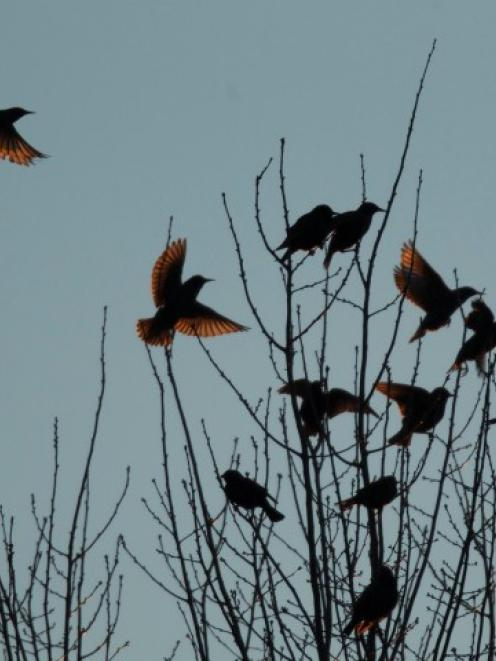 Blackbirds perch in trees in the town of Hopkinsville, Kentucky. REUTERS/Harrison McClary