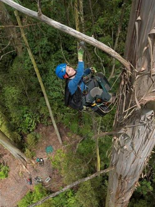 Botanist and Humboldt State University lecturer Marie Antoine climbs New Zealand's tallest tree...