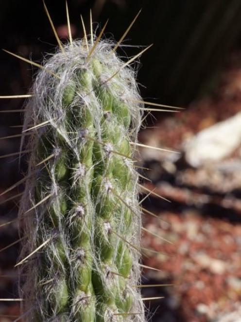 Cacti and succulents can be raised from cuttings made during the next month. Photo by Gillian Vine.