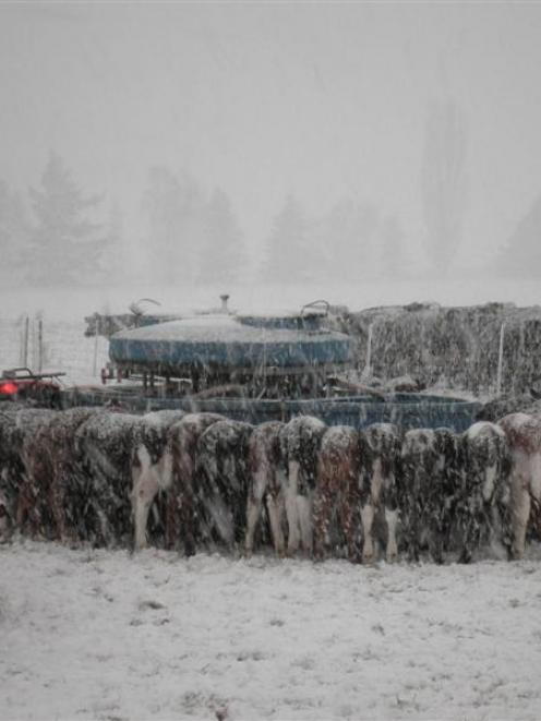 Calves on Geoff and Jan Keeling's farm line up for feeding early yesterday morning in blizzard...