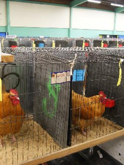 CC11poultry2.Buff Orpington fowl on display at a previous Christchurch Poultry, Bantam and Pigeon...
