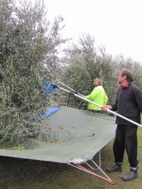 Central Otago Olive Growers Stephen Nearest Camera And Chris Clark Continue Raking Their Trees