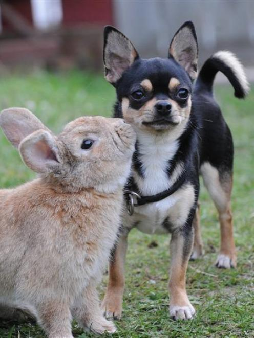 Chihuahua Timmy and his rabbit mate, Solomon, play at owner Beverley Livingstone's Caversham home...