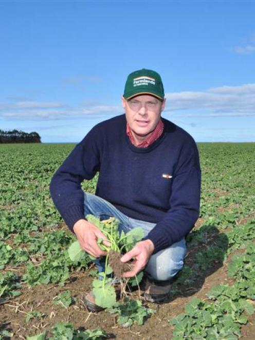 Chris Dennison examines a paddock of canola sown on his Hilderthorpe property. Photo supplied.