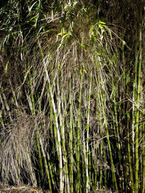 Chusquea culeou is a perfect clump-forming bamboo. Photo by Gerard O'Brien