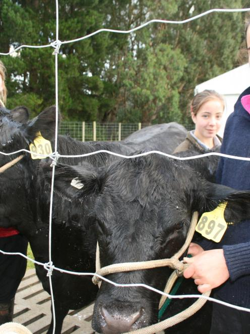 Cleaning  cattle before they compete in the beef section of the Southland  A&P Show, Invercargill...