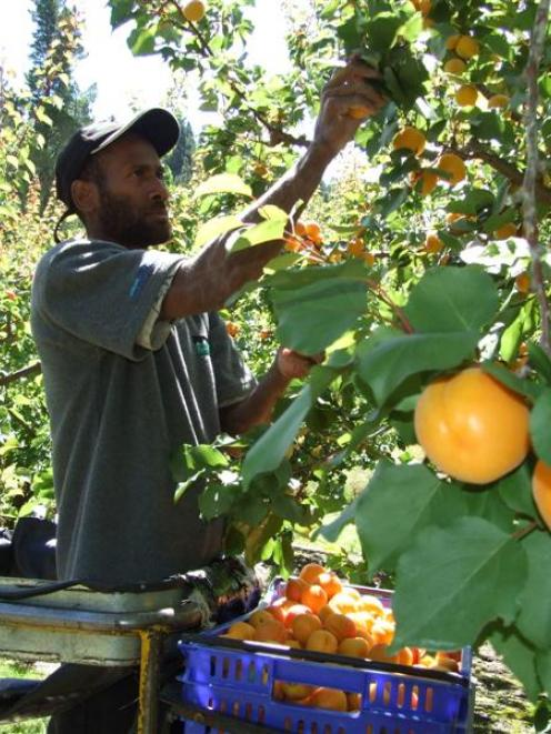 Cliff Richards,  of Vanuatu,  picks Sundrop apricots at Clyde yesterday. The fruit is destined...