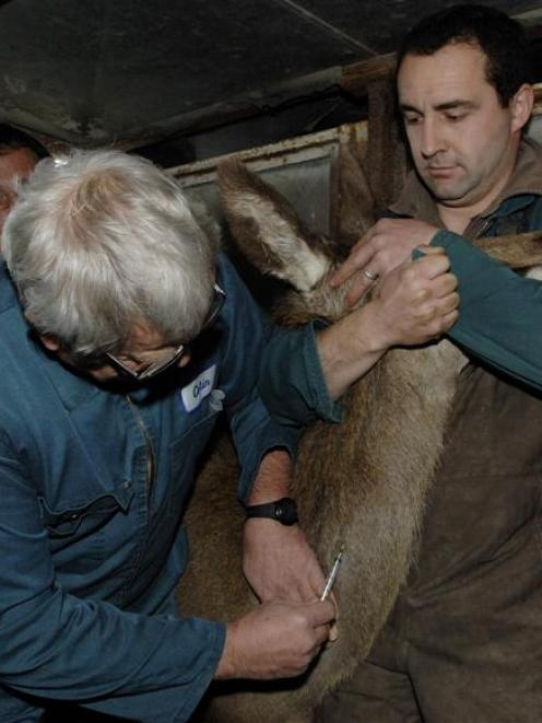 Colin Mackintosh administers an anaesthetic to a deer before a CT scan at Invermay in 2011. The...
