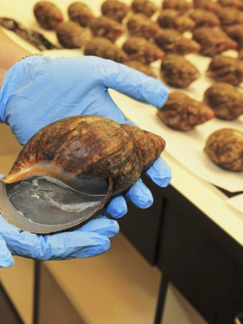 Confiscated Giant African Snails are shown in this handout photo released to Reuters.