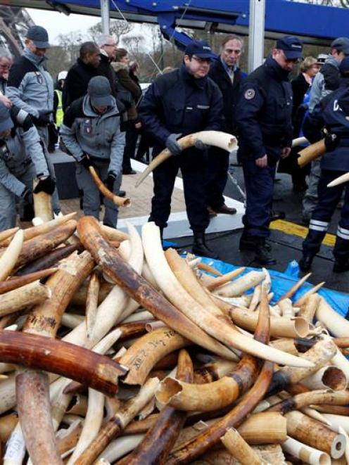Customs agents hold ivory tusks which will be pulverized into dust during the exhibition of...