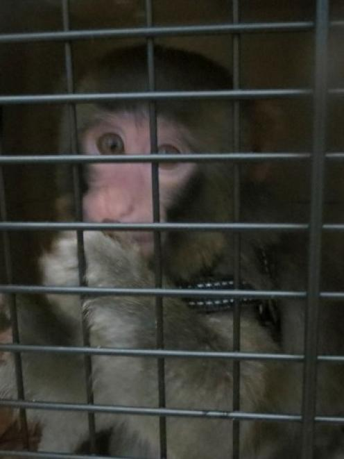 Darwin, the monkey that caused a frenzy as it wandered around the parking lot of a Toronto-area...