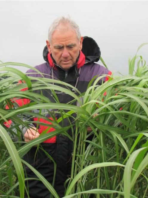 David Buckleigh, of Miscanthus New Zealand in Rotorua, inspects the miscanthus shelter belt on...