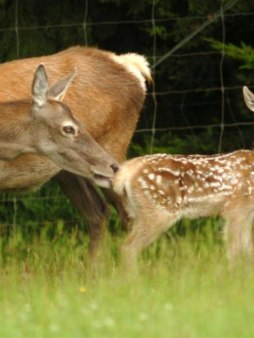 Deer Industry New Zealand is seeking to lift profit on venison by $2 a kg over 10 years. Photo by...