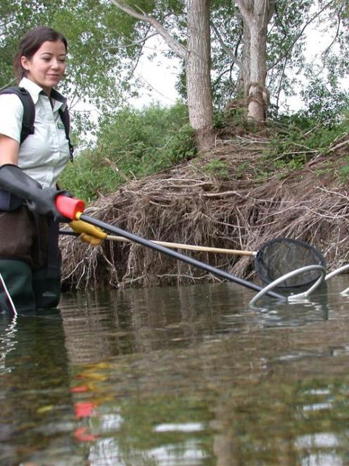 Department of Conservation freshwater ranger Lan Pham electro-fishes for the rare lowland longjaw...