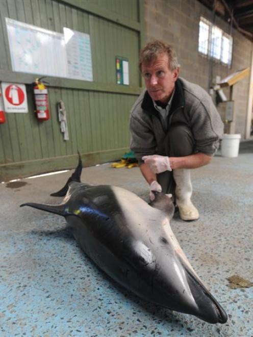 Department of Conservation marine ranger Jim Fyfe with a dusky dolphin caught in a set net in...