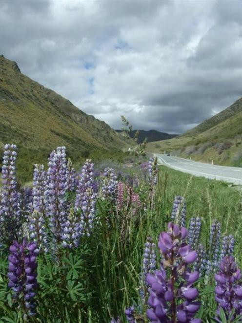 Despite their reputation as a damaging weed, lupins provide a carpet of colour throughout the...