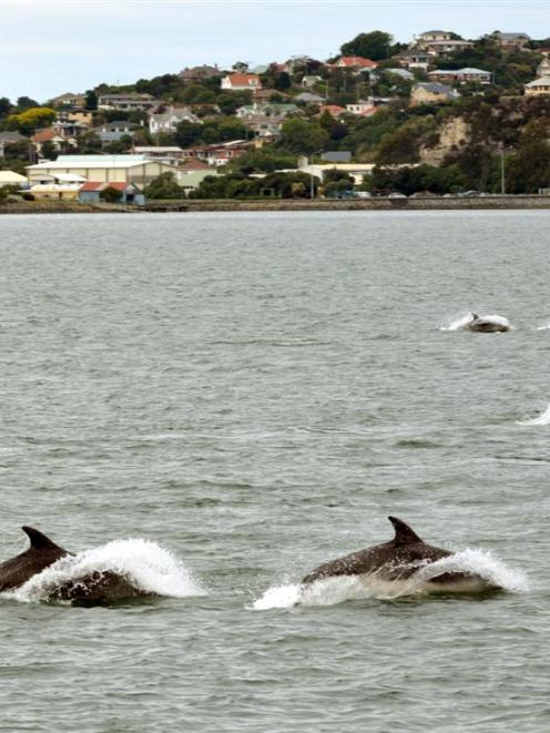 Dolphins visit Otago Harbour last week. More dolphins have been seen in the harbour today. Photo:...