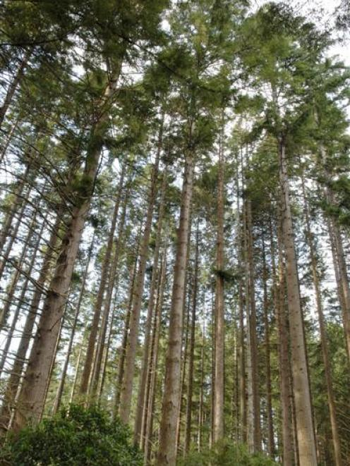 Douglas fir, such as these owned by City Forests near Three Mile Hill Rd, in Dunedin, yesterday,...