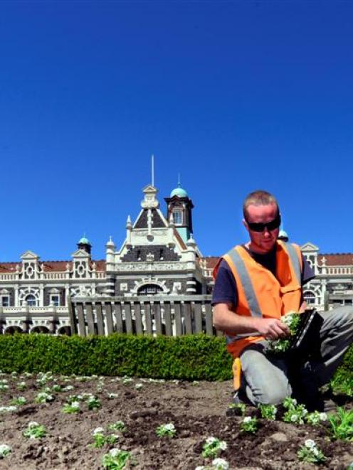 Dunedin Botanic Garden apprentice Nick Coughlan prepares flowers for planting at the Dunedin...