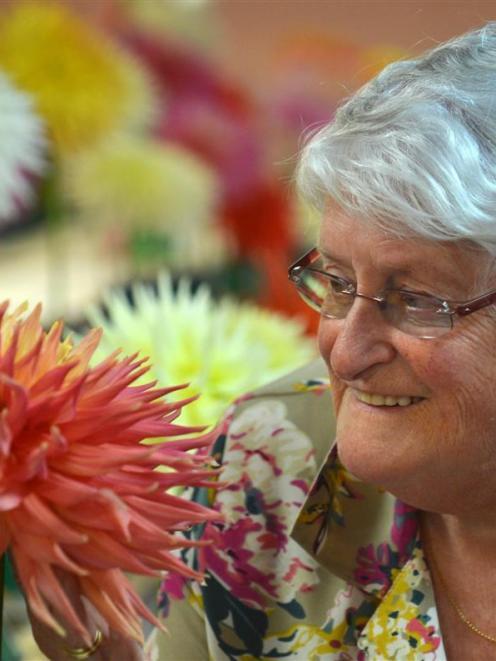 Dunedin Horticultural Society president Joy Morton admires a semi-cactus dahlia at the Dunedin...
