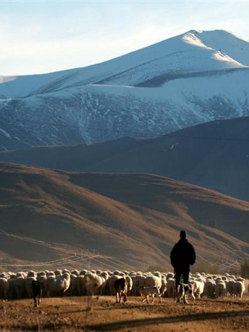 Dunedin Smith, from Shortland Station, and a team of dogs drive a mob of sheep along the Kyeburn...